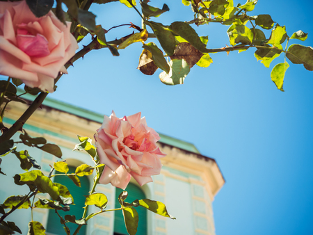 Beautiful tree with blooming pink roses Stock Photo