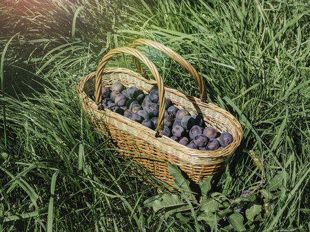 Wicker basket with ripe plums, standing on the green grass. Close-up, side view