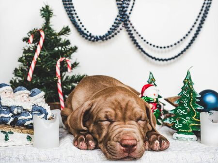 Young, charming puppy and bright Christmas decorations. Close-up, white isolated background. Studio photo. Concept of care, education, training and raising of animals Reklamní fotografie - 127072998