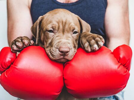 Young, charming puppy and red boxing gloves Reklamní fotografie