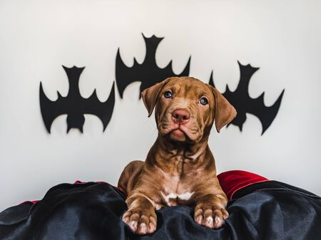 Young, charming puppy, lying on a black bedspread. Preparing for Halloween. Close-up, isolated background. Studio photo. Concept of care, education, training and raising of animals Reklamní fotografie