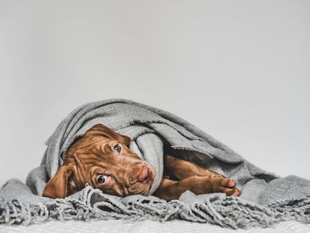 Young puppy, wrapped in a gray scarf