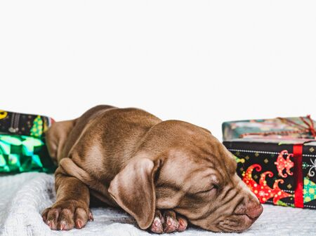 Pretty, tender puppy of chocolate color, Christmas decorations, carpet and box tied with a bow. Close-up. Studio photo. Concept of care, education, obedience training and raising of pets