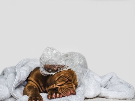 Sweet, charming puppy, wrapped in a towel and shower cap. Close-up, isolated background. Studio photo, white color. Concept of care, education, obedience training, raising of pet Reklamní fotografie