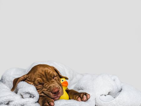 Sweet, charming puppy, wrapped in a towel and yellow, rubber duck. Close-up, isolated background. Studio photo, white color. Concept of care, education, obedience training, raising of pet