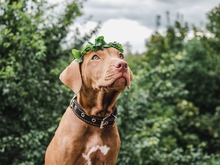 Sweet puppy of chocolate color with a wreath of clover leaves sitting on a background of trees on a clear, summer day. Close-up. Concept of care, education, obedience training and raising of pets