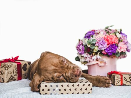 Sweet, charming puppy, festive box tied with a ribbon and bright bouquet. Close-up, isolated background. Studio photo, white color. Concept of care, education, obedience training, raising of animals