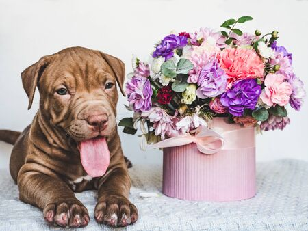 Sweet, charming puppy chocolate-colored and bright bouquet. Close-up, isolated background. Studio photo, white color. Concept of care, education, obedience training and raising of animals Reklamní fotografie