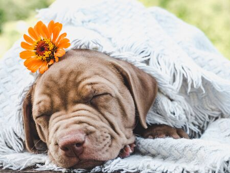 Sweet, charming puppy of chocolate color sleeping on a soft plaid against a background of green trees.Close-up. Concept of care, education, obedience training and raising of pets Reklamní fotografie