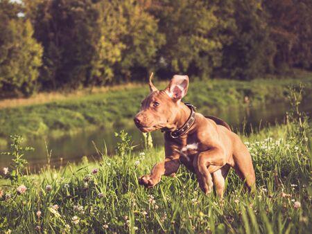 Puppy of chocolate color on a morning run Zdjęcie Seryjne