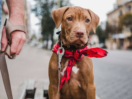 Puppy of chocolate color and his owner