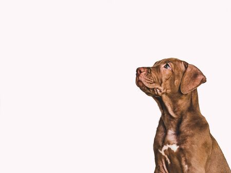 Young, charming puppy of chocolate color. Close-up, side view. White isolated background. Studio photo. Concept of care, education, obedience training and raising of pets