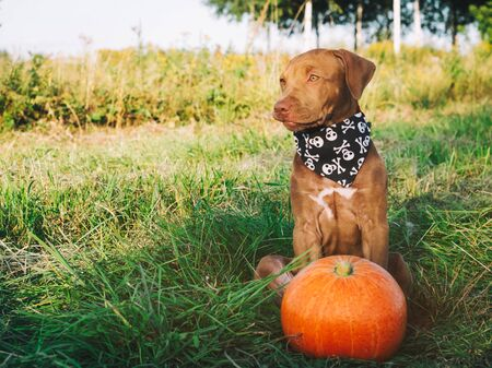 Sweet puppy of chocolate color on the grass on a sunny morning and bright scarf with a pumpkin pattern. Close-up, outdoors. Concept of care, education, obedience training and raising of pets