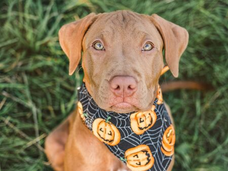 Sweet puppy of chocolate color, sitting on the grass on a sunny morning and bright scarf with a pumpkin pattern. Close-up, outdoors. Concept of care, education, obedience training and raising of pets Stock Photo