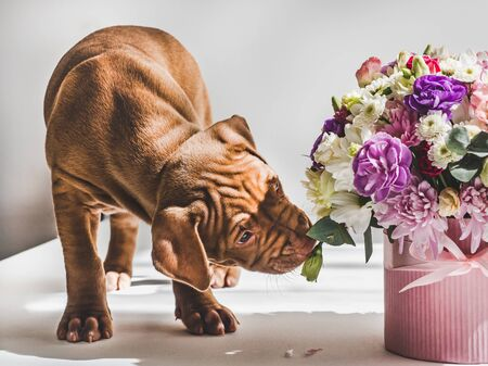 Sweet, charming puppy of chocolate color and bright bouquet. Close-up, isolated background. Studio photo, white color. Concept of care, education, obedience training and raising of animals