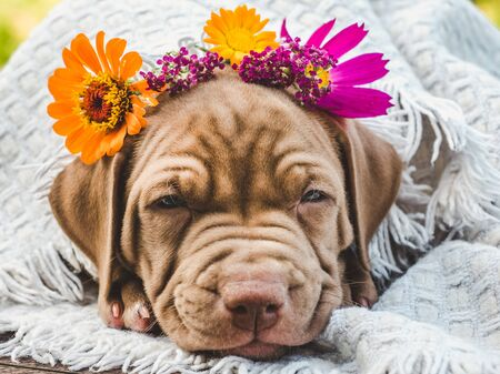 Sweet, charming puppy of chocolate color sleeping on a soft plaid on a clear, sunny day against the blue sky. Close-up, outdoor. Concept of care, education, obedience training and raising of pets Stock Photo