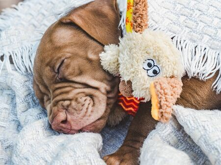 Sweet, pretty puppy of chocolate color hugging his toy and sleeping on a soft plaid on a clear, sunny day. Close-up, outdoor. Concept of care, education, obedience training and raising of pets