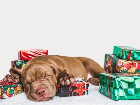 Pretty, tender puppy of chocolate color, Christmas decorations, plaid and boxes tied with a bow. Close-up. Studio photo Stock Photo