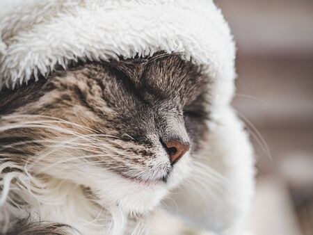 Young, charming kitty in a white wool hat. Close-up, isolated background. Studio photo. Concept of care, education, training and raising of animals Foto de archivo