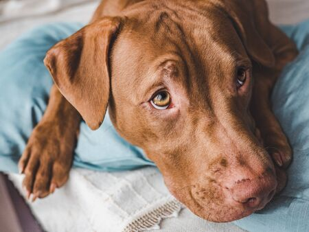 Lovable, pretty puppy of chocolate color. Close-up, indoor. Day light. Concept of care, education, obedience training, raising pets