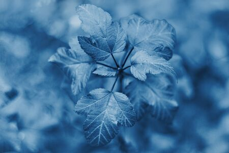 Shrub leaves in classic blue color closeup