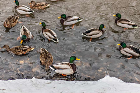 A flock of ducks swim near the shore. Winter time.