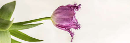 Purple tulip in a vase in the garden. Spring. Bloom.Banner Фото со стока