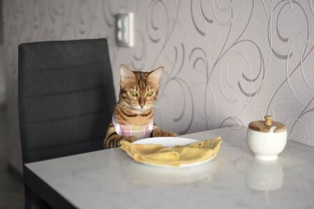 Bengal cat sits at a table and looks at food