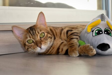Bengal cat lies on the floor of the balcony