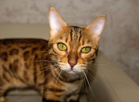 Bengal domestic cat on a blurred background, portrait, close-up