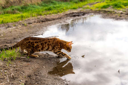 Bengal cat gently touches the water with its paw Imagens