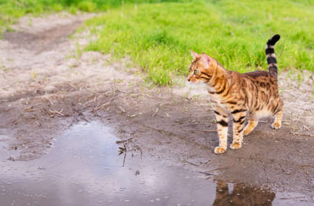 A beautiful spotted cat stands near the water and looks away with curiosity