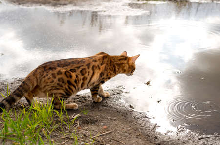 View of a purebred Bengal cat looking closely at a puddle of water Imagens