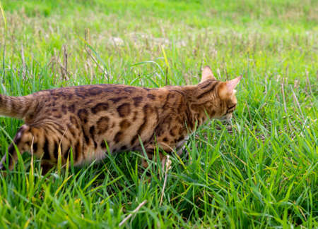 Bengal cat walks among the green grass in the meadow, side view Imagens