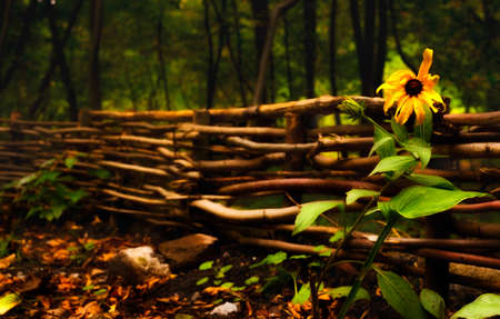 Beautiful natural autumn background with wicker hedge and yellow flower.
