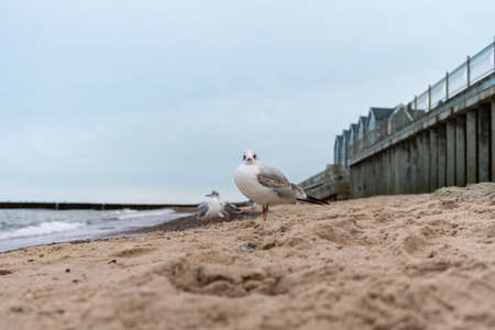 Seagull stands on the sand on the shore and looks at the camera