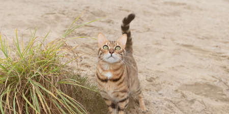 Close-up of a domestic Bengal cat on a walk. Selective focus.
