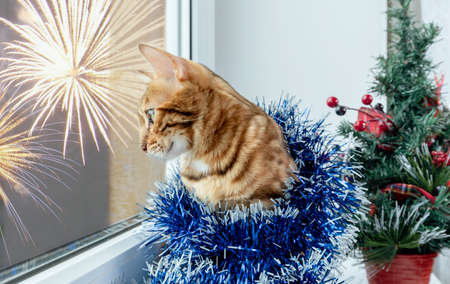 Cute Bengal cat with Christmas tree tinsel looks out the window. Stock Photo