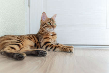 Photo of a Bengal shorthair cat with big eyes. She is lying on the wooden floor in a room with the door.