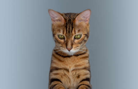 Bengal cat guiltily looked down on a gray background