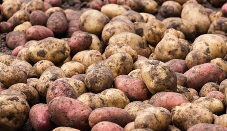 close up food: a lot of unwashed raw fresh potatoes in the garden close up food background summer autumn