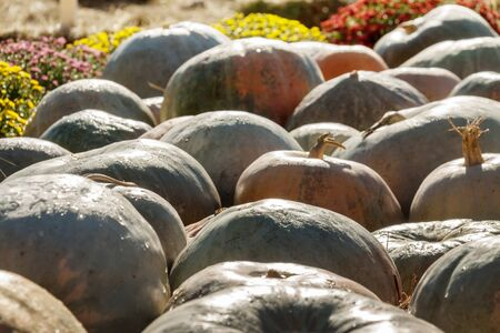 A bunch of dark brown pumpkins on the ground outdoor agriculture farmer food market Stock Photo