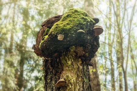 Fungus chaga mushroom on the trunk tree spring forest background Stok Fotoğraf