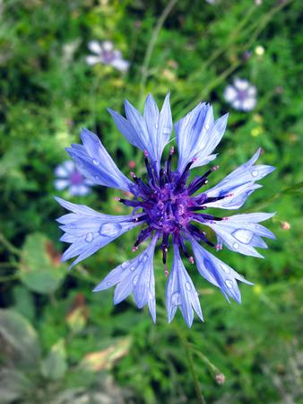 centaurea: Centaurea cyanus - wildflower. Blue cornflower in the morning dew
