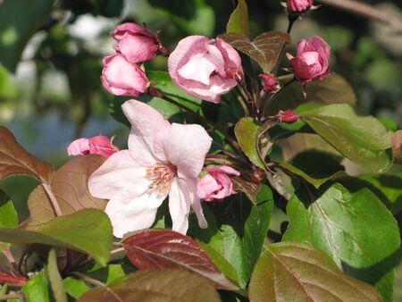 pioneering: Pink flower apple tree