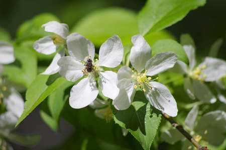 pioneering: White flower apple tree Stock Photo