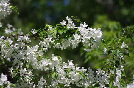 pioneering: blooming apple tree