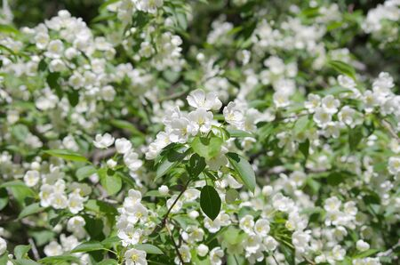 pioneering: blooming apple tree