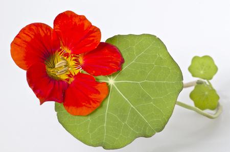 unpretentious: Nasturtium flower with leaves on white background Stock Photo