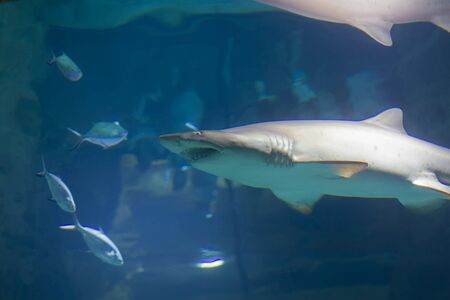 Huge scary shark in blue water